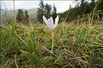 Colchicum alpinum var. parvulum (Ten.) Baker