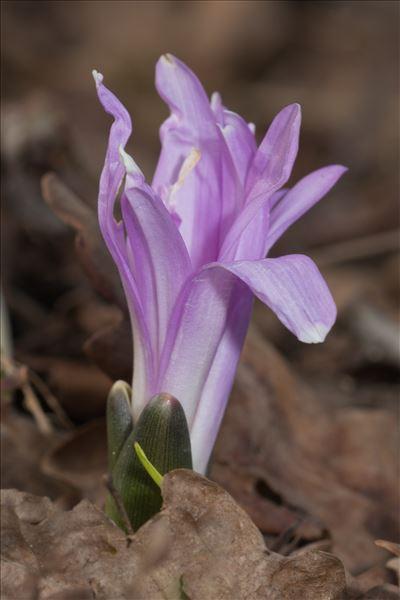 Colchicum bulbocodium Ker Gawl.