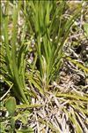 Carex humilis Leyss. [1758]