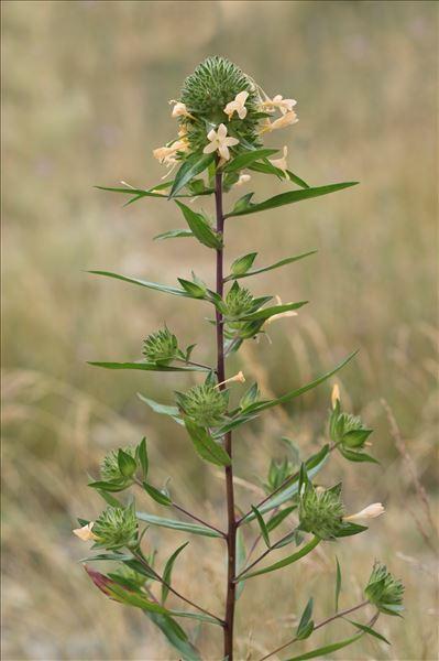 Collomia grandiflora Douglas ex Lindl.
