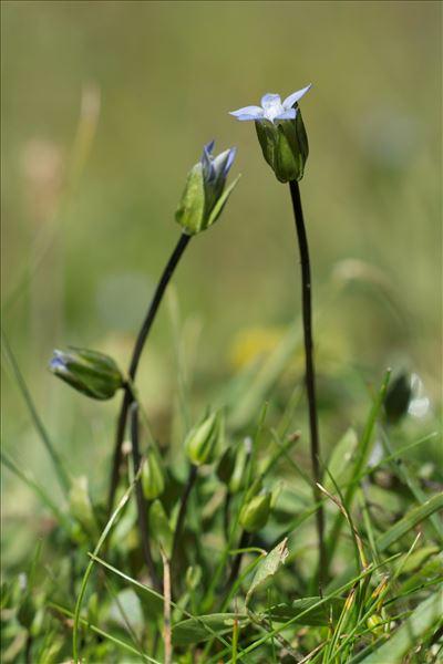 Comastoma tenellum (Rottb.) Toyok.