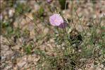 Photo 4/6 Convolvulus cantabrica L.