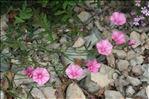 Photo 5/6 Convolvulus cantabrica L.