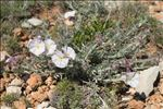 Photo 13/13 Convolvulus lanuginosus Desr.