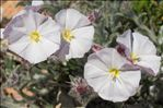 Photo 12/13 Convolvulus lanuginosus Desr.