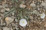 Photo 5/13 Convolvulus lanuginosus Desr.