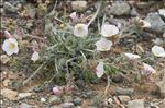 Photo 4/13 Convolvulus lanuginosus Desr.