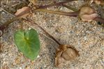 Photo 1/5 Convolvulus soldanella L.