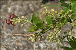 Photo 5/7 Coriaria myrtifolia L.