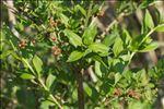 Photo 1/7 Coriaria myrtifolia L.