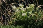 Coristospermum ferulaceum (All.) Reduron, Charpin & Pimenov