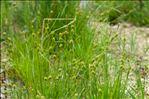 Carex lepidocarpa Tausch