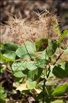 Photo 3/4 Cotinus coggygria Scop.