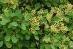 Photo 4/4 Cotinus coggygria Scop.