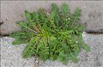 Crepis bursifolia L.