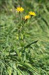 Crepis pyrenaica (L.) Greuter