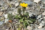 Photo 8/8 Crepis rhaetica Hegetschw.