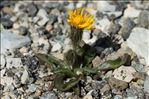 Photo 6/8 Crepis rhaetica Hegetschw.