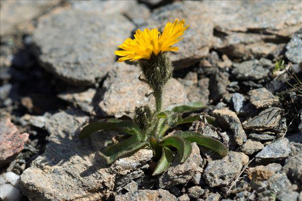 Crepis rhaetica Hegetschw.