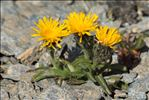 Photo 4/8 Crepis rhaetica Hegetschw.