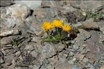 Photo 3/8 Crepis rhaetica Hegetschw.