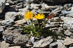 Photo 2/8 Crepis rhaetica Hegetschw.