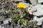 Photo 1/8 Crepis rhaetica Hegetschw.