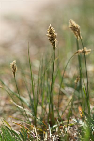 Carex colchica J.Gay