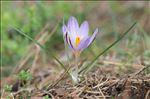 Photo 1/3 Crocus corsicus Vanucchi ex Maw
