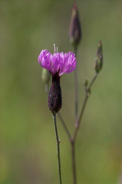 Crupina vulgaris Cass.