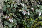 Photo 3/3 Cymbalaria hepaticifolia (Poir.) Wettst.
