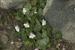 Cymbalaria hepaticifolia (Poir.) Wettst.