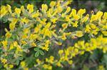 Photo 4/4 Cytisus hirsutus L.
