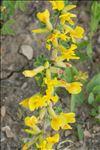 Photo 3/4 Cytisus hirsutus L.