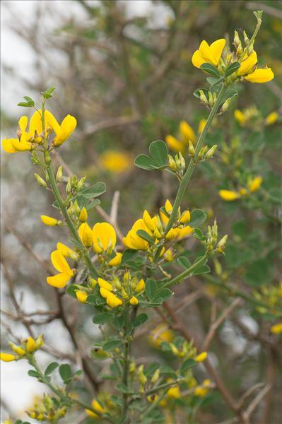 Cytisus spinosus (L.) Bubani