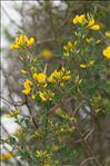 Photo 1/2 Cytisus spinosus (L.) Bubani