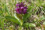 Photo 5/5 Dactylorhiza sambucina (L.) Soó