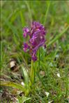 Photo 3/5 Dactylorhiza sambucina (L.) Soó