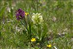 Photo 2/5 Dactylorhiza sambucina (L.) Soó