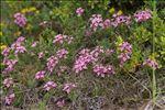 Photo 4/4 Daphne cneorum L.