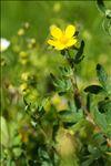 Photo 4/4 Dasiphora fruticosa (L.) Rydb.