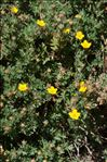 Photo 2/4 Dasiphora fruticosa (L.) Rydb.