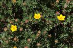 Photo 1/4 Dasiphora fruticosa (L.) Rydb.