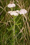 Photo 1/2 Achillea millefolium L.