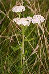 Photo 1/2 Achillea millefolium L. subsp. millefolium