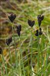 Carex parviflora Host