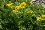 Descurainia tanacetifolia (L.) Prantl subsp. tanacetifolia
