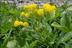 Descurainia tanacetifolia (L.) Prantl