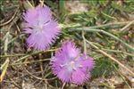Dianthus gallicus Pers.
