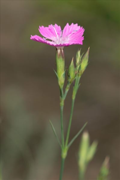 Dianthus graniticus Jord.